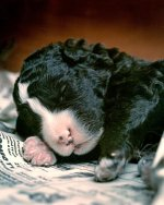 Panda-puppy.jpg